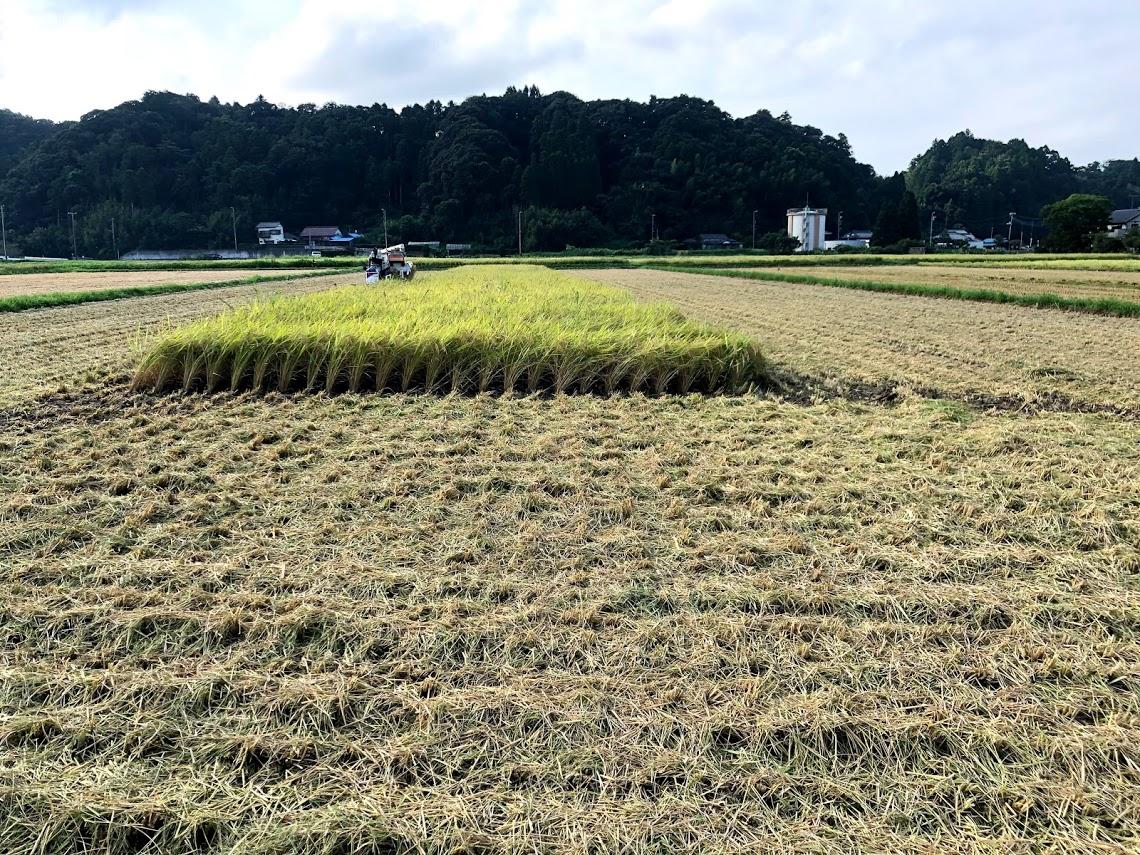 稲収穫中のコンバイン