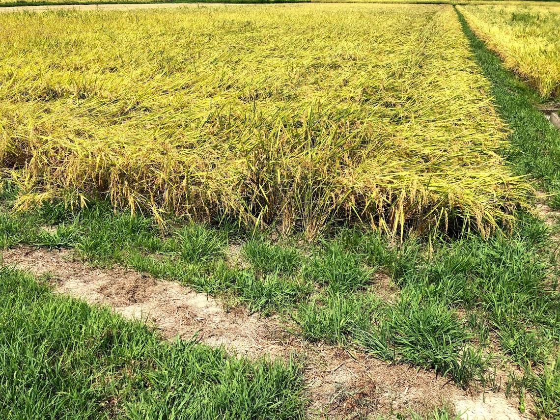 稲刈り前の田と稲の様子